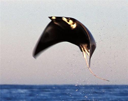Літаючі морські скати