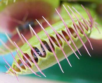 М'ясоїдні рослини