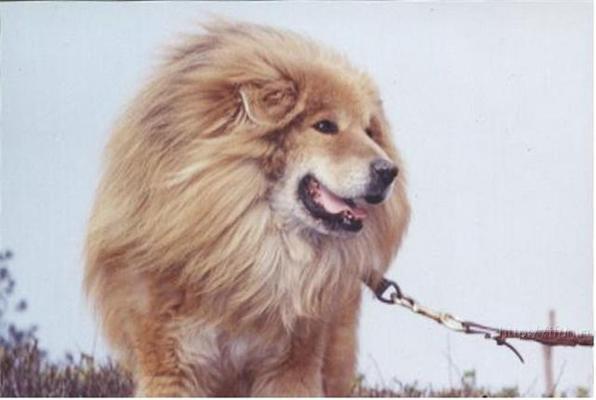 Нова порода. Собака-лев