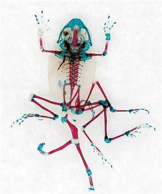 Жаба під рентгеном