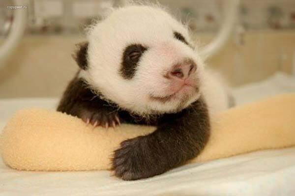 Гості дня. Сьогодні йдемо в гості до крихті панді. ФОТО