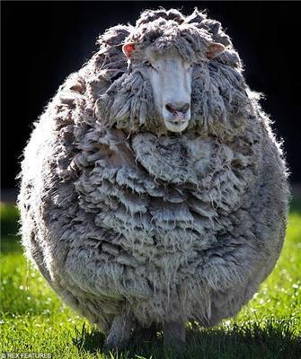 Як поголити зарослу волохату вівцю? Фотоінструкцію дня