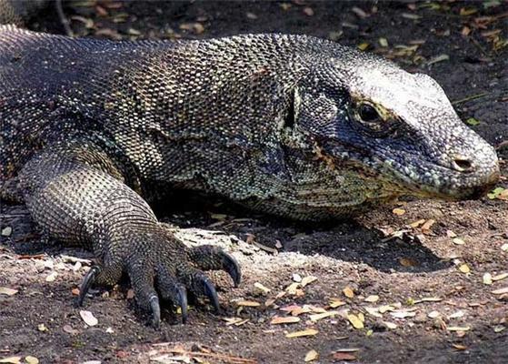 Екскурсія дня. Дракони острова Комодо. ФОТО