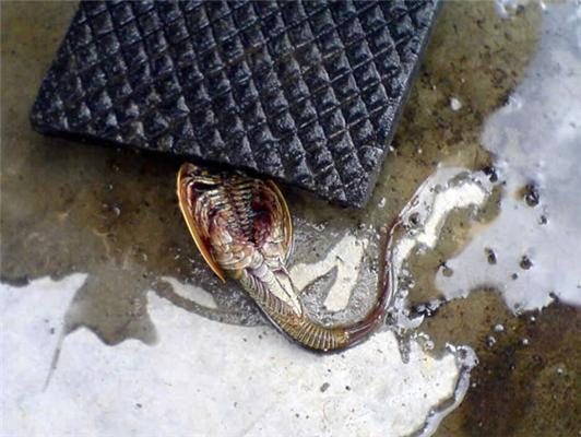 Рыбка из прошлого - мечехвост в канализации. ФОТО