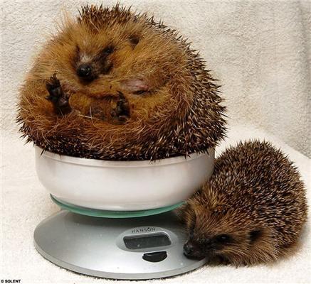 Знайомтеся, це Джордж - жирний їжачок. ФОТО