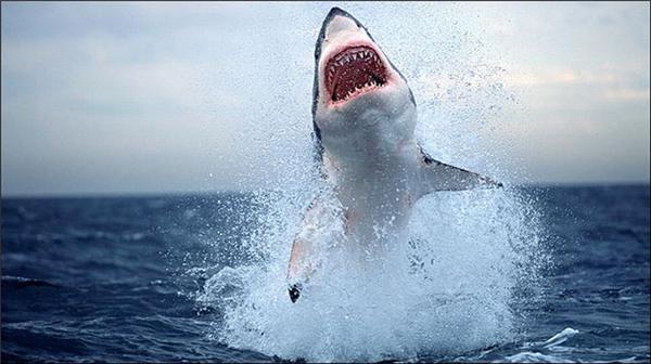 Полювання акули на тюленів. Приголомшливі ФОТО