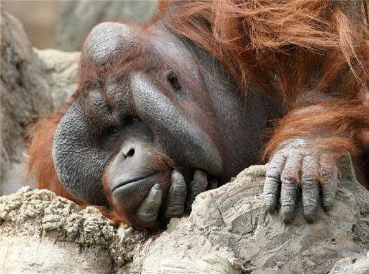 Орангутанчікі. ФОТО найближчих родичів людини