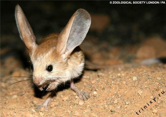 Редкий зверек из пустыни – длинноухий тушканчик. ФОТО, ВИДЕО