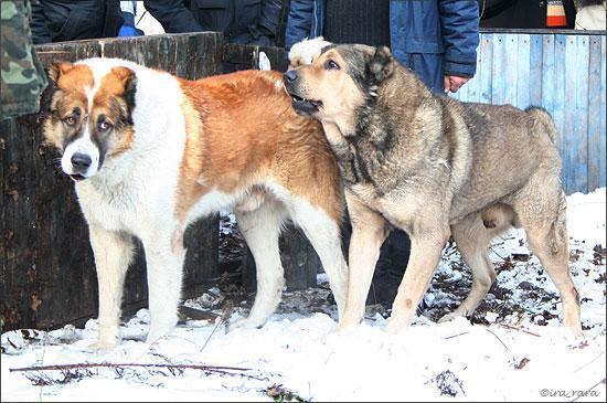 Собачі БОЇ в Ірпені під Києвом. 25 фото не для любителів