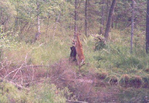 Хто кого? Олень проти ведмедя. 4 ФОТО