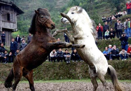 Конные бои в Монголии. 4 ФОТО