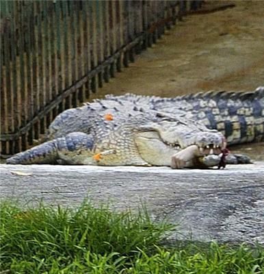 Крокодил оторвал руку ветеринару (шокирующие ФОТО)