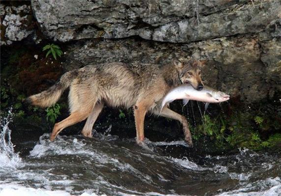 Красавец. Волк-рыболов