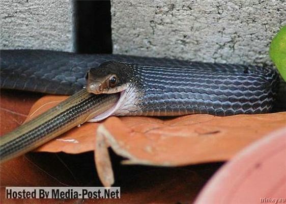 І таке буває. Змія їсть змію