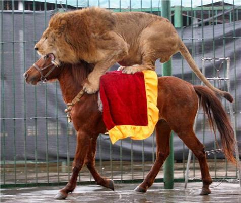 Фотографії дня. Кінь, яка катає левів і тигрів