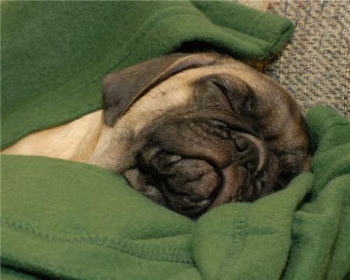 Мопс - очень грустная собачка...