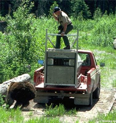 Как медведя на волю выпускали, а он разрывал спасателя