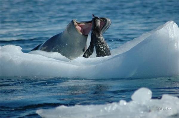 Смерть Линуксоида. Как происходит охота на пингвинов