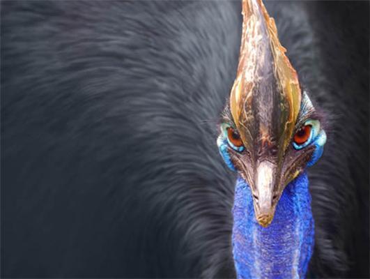 Самая опасная птица планеты.Встретите - бегите без оглядки