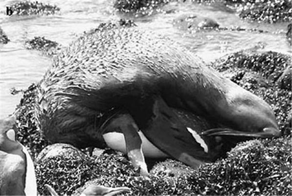 Ученые сняли 45-минутную оргию морского котика и пингвина