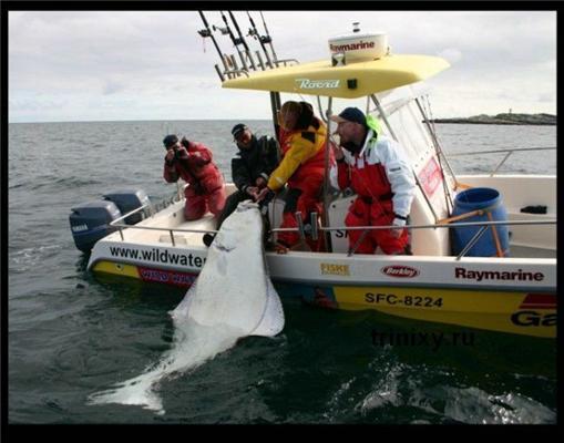 Рыбаки боролись за улов, а палтус - за жизнь. Рыба проиграла