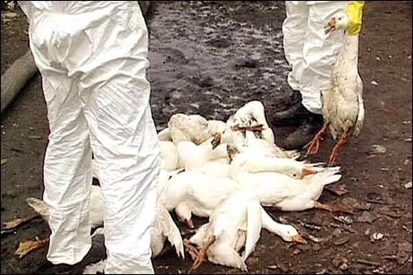 В Индонезии снова вспышка птичьего гриппа