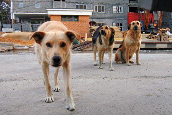 Девочка, покусанная бродячими собаками, умерла