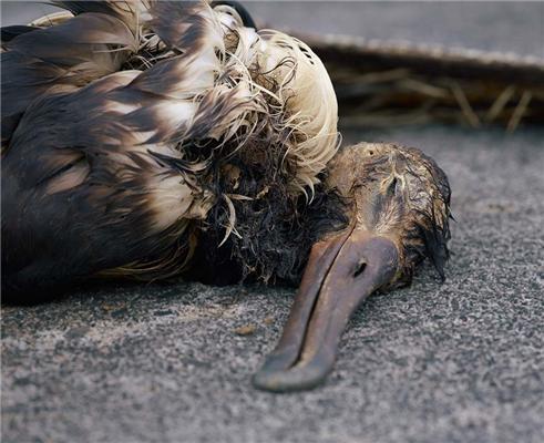 Жесть! Що їдять альбатроси. Приберіть дітей від екрану