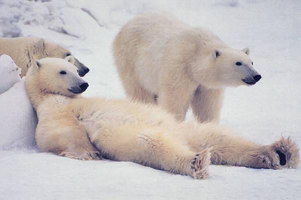 Канадець майже добу провів на крижині з ведмедями