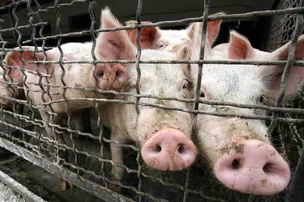 Сочі вразила спалах африканської чуми свиней