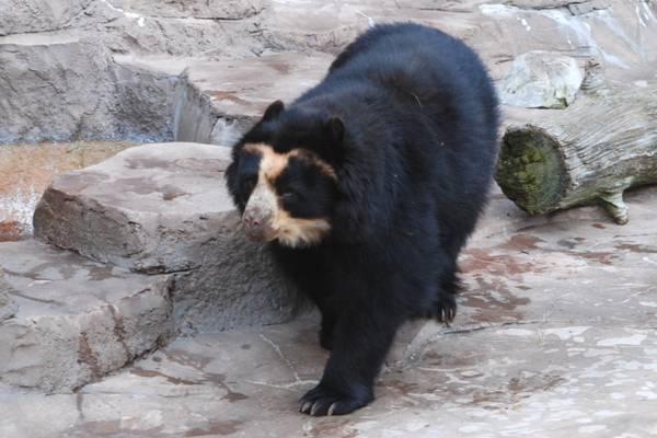 У німецькому зоопарку раптово облисіли ведмеді