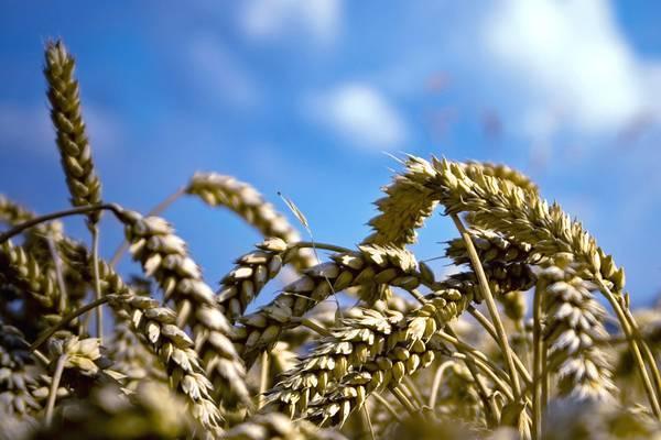 Цены на зерно на еврорынках продолжают падать