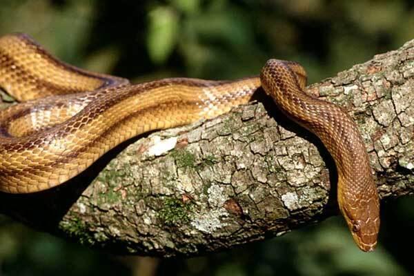 У Криму навала отруйних змій