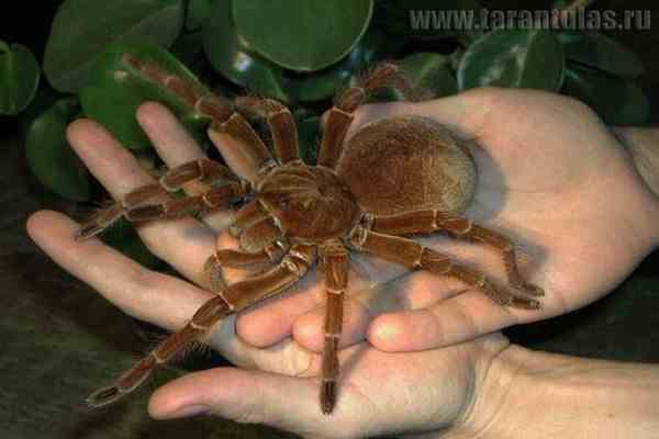 Гигантские пауки захватили австралийский город