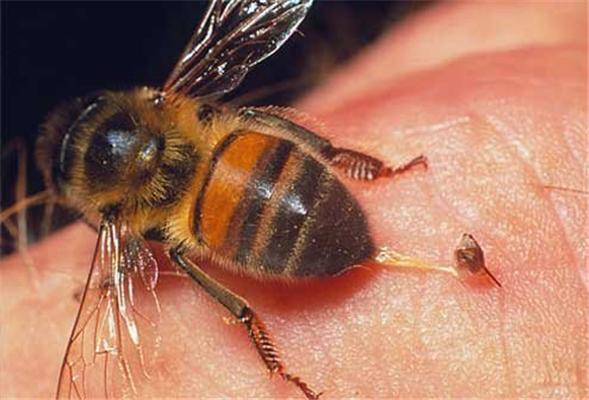 Лікування бджолами - шлях у владу?