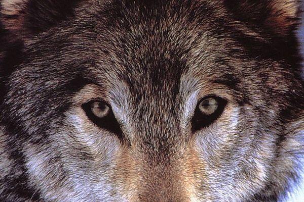 На Чернобыльской АЭС бешеный волк искусал шестерых
