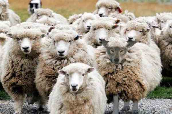 Украинским овцам грозит нашествие тропической горячки