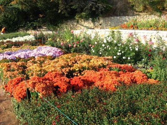 В Крыму — грандиознейший бал хризантем. ФОТО