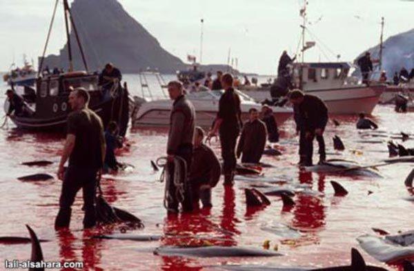 Кровавое море: убийство дельфинов ради удовольствия. ФОТОШОК