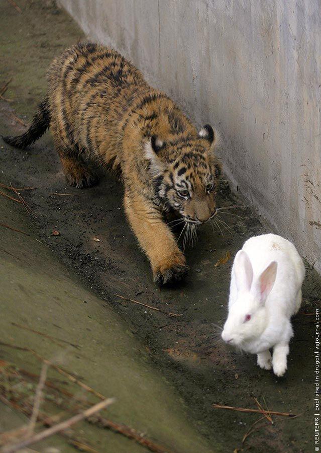 LIVE. В Китае тигр полюбил свою еду нежной и трепетной любовью