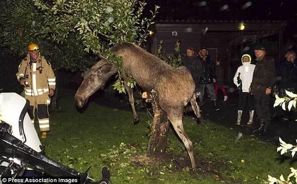П'яний лось заліз на яблуню і застрял.Фото