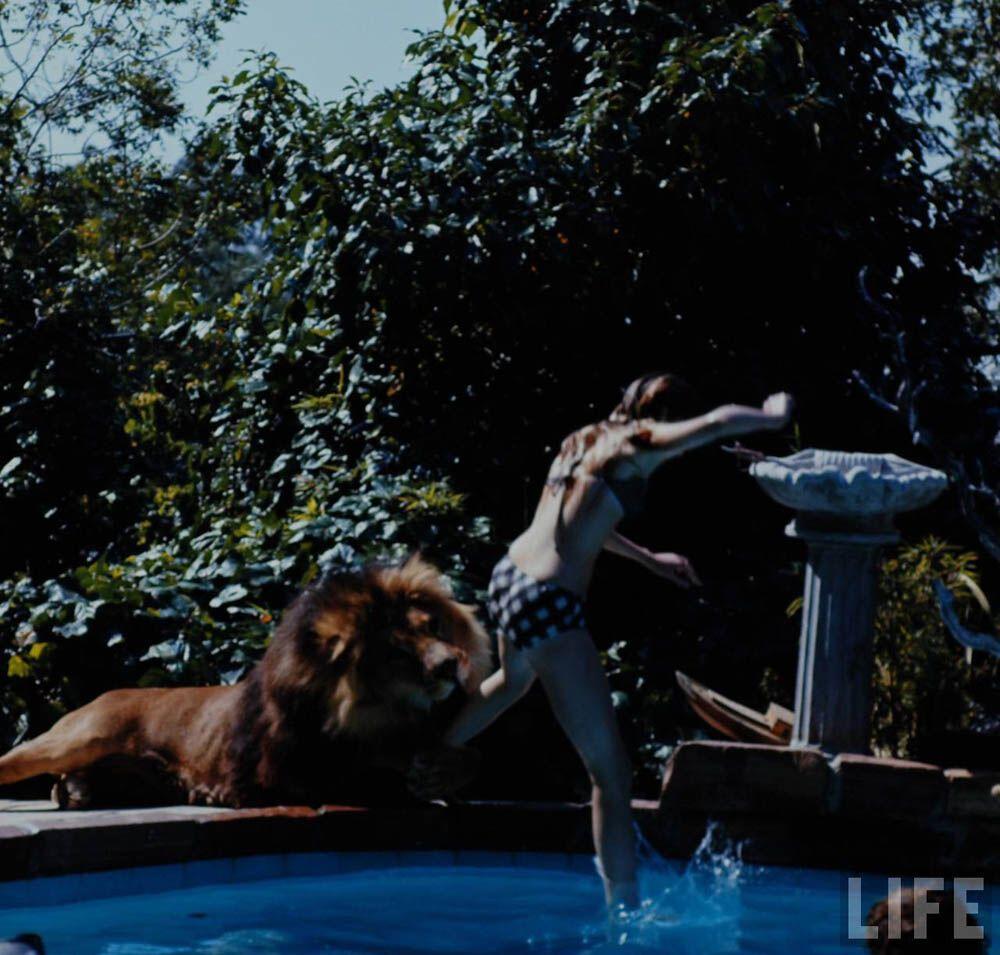 Лев в якості домашнього вихованця