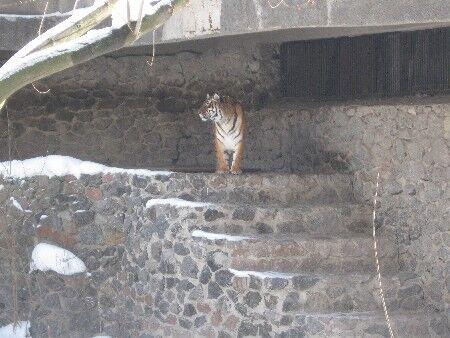 ЧП в зоопарке: стали известны причины нападения тигра