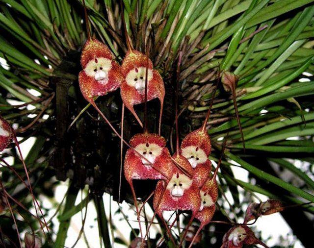 На Эквадоре растут орхидеи, похожие на обезьян. Фото