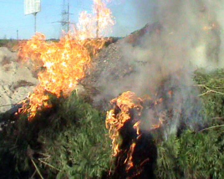 Под Киевом сожгли коноплю на 2,5 млн.грн.