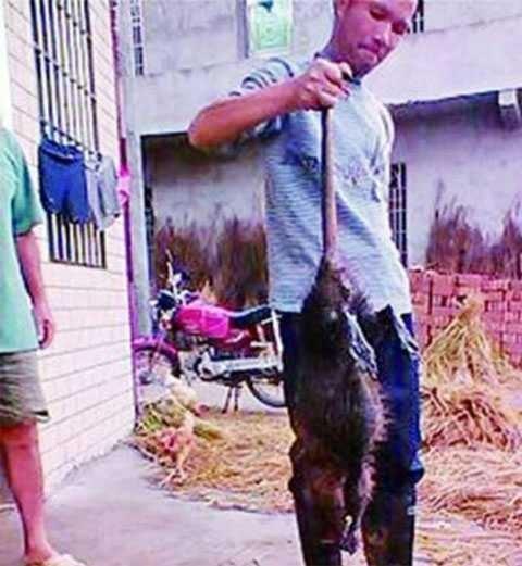 """В Китае поймали гигантскую """"бронированную"""" крысу"""
