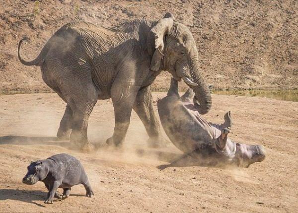 Нападение слона на бегемота в Африке: впечатляющие фото