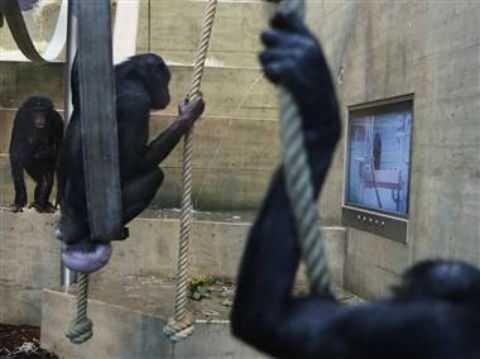 Вместо порнофильмов обезьяны выбирают бананы