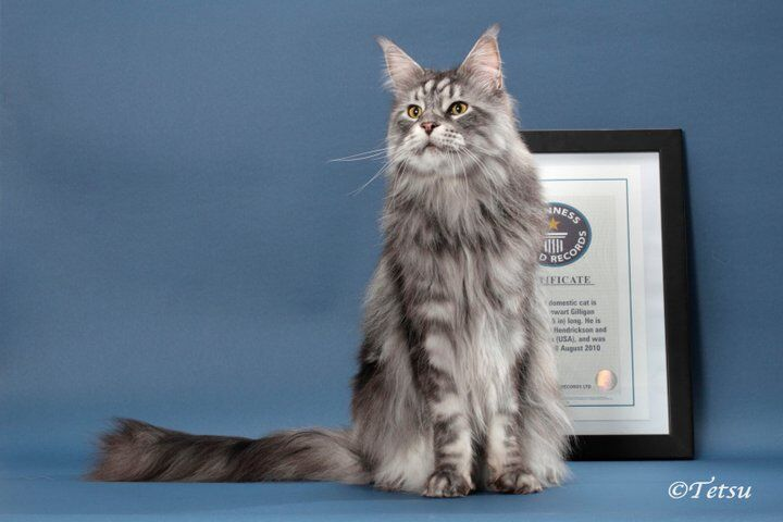 Скончался самый длинный кот в мире. Фото