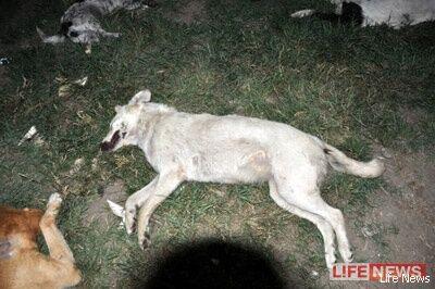 В Адыгее в питомнике застрелили 40 собак